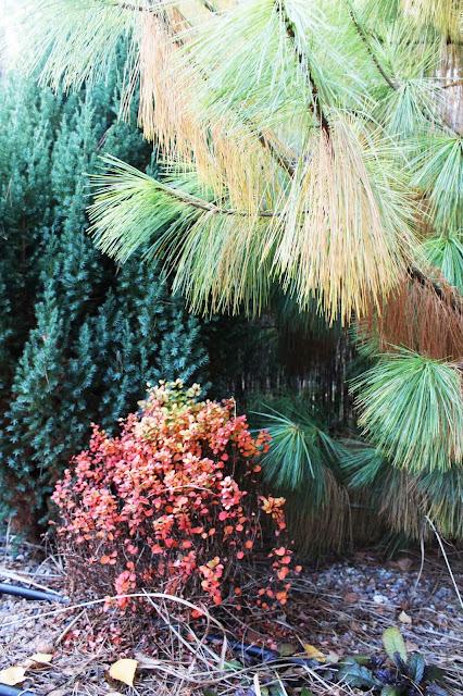 jesiene kolory w ogrodzie, jakie rośliny wyglądaja najpiękniej jesienią,kolor czerwony w ogrodzie,piękny ogród jesienią,rabata w kolorze czerwonym, czerwone rośliny, któe rośliny zmieniają kolor jesienią na jesień,porady inspiracje ogrodowe,choinka traci igły