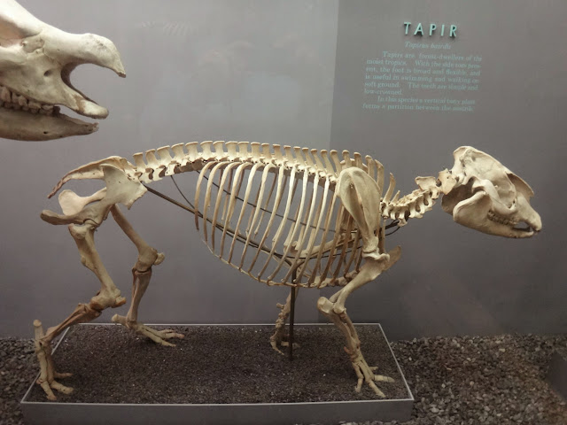 Tapir skeleton at National History Museum in Washington DC, USA