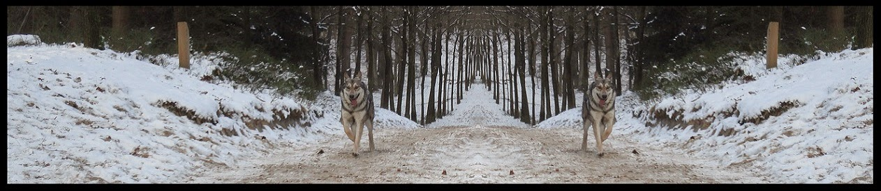 Saarlooswolfhonden kennel Silva Amica