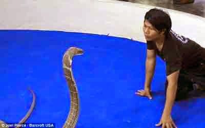 Ciuman, Paling, Romantis, Dengan, Raja, Cobra