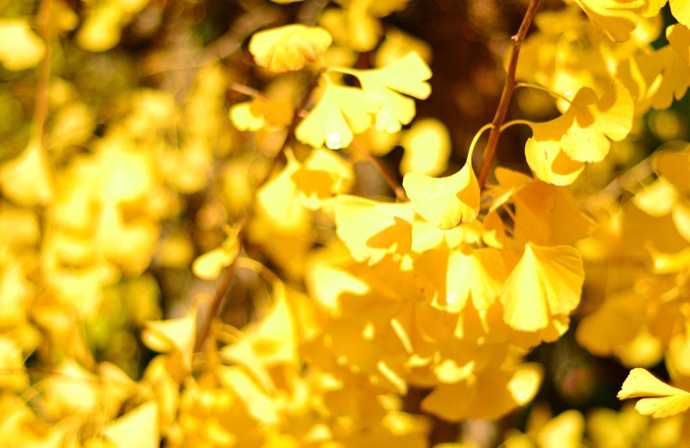 黄色い銀杏の写真