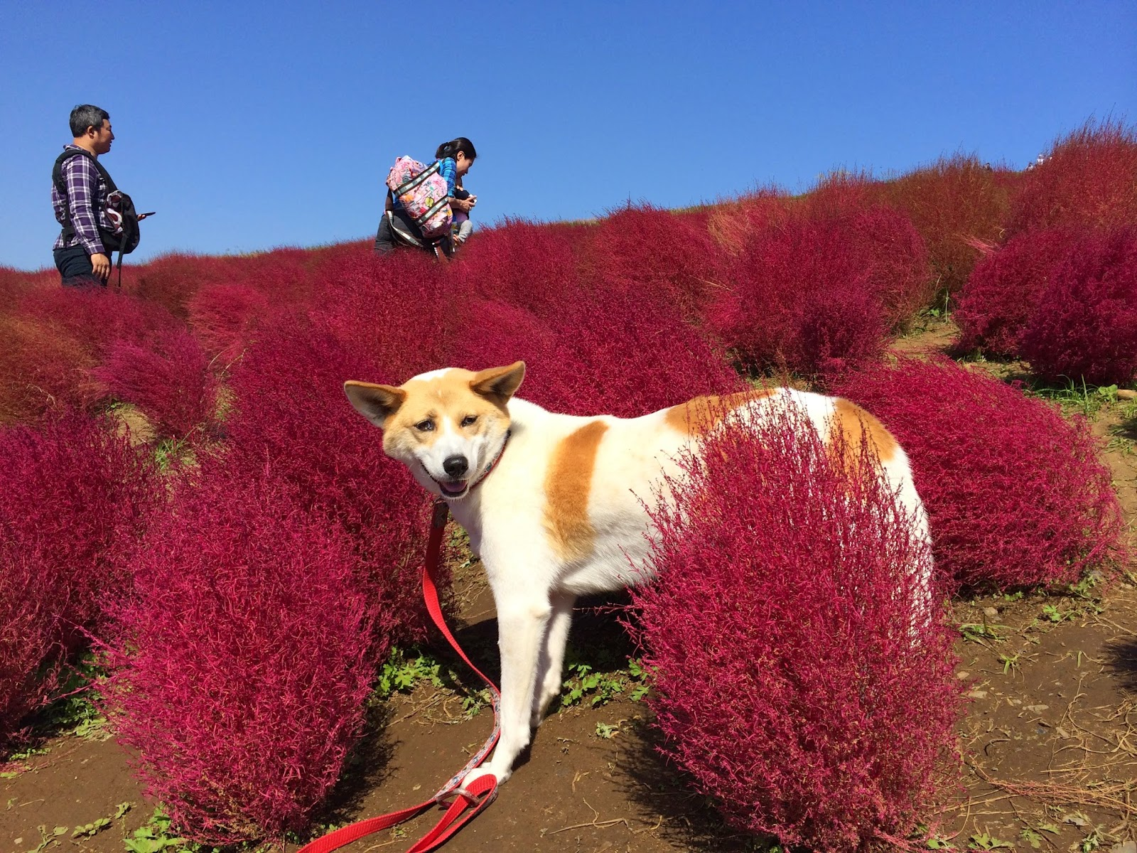 Red bush Kochia Bassia scoparia (syn. Kochia scoparia) Hitachi Seaside park kaihin kouen
