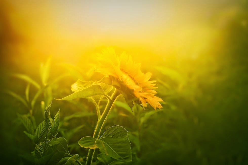 A year of being here thomas merton song for nobody thomas merton song for nobody a yellow flower mightylinksfo