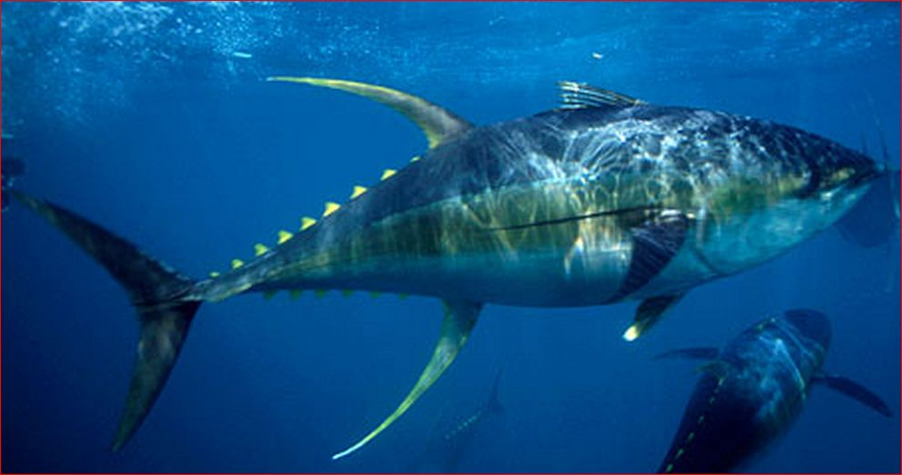 Fish identification tuna species for Ahi tuna fish