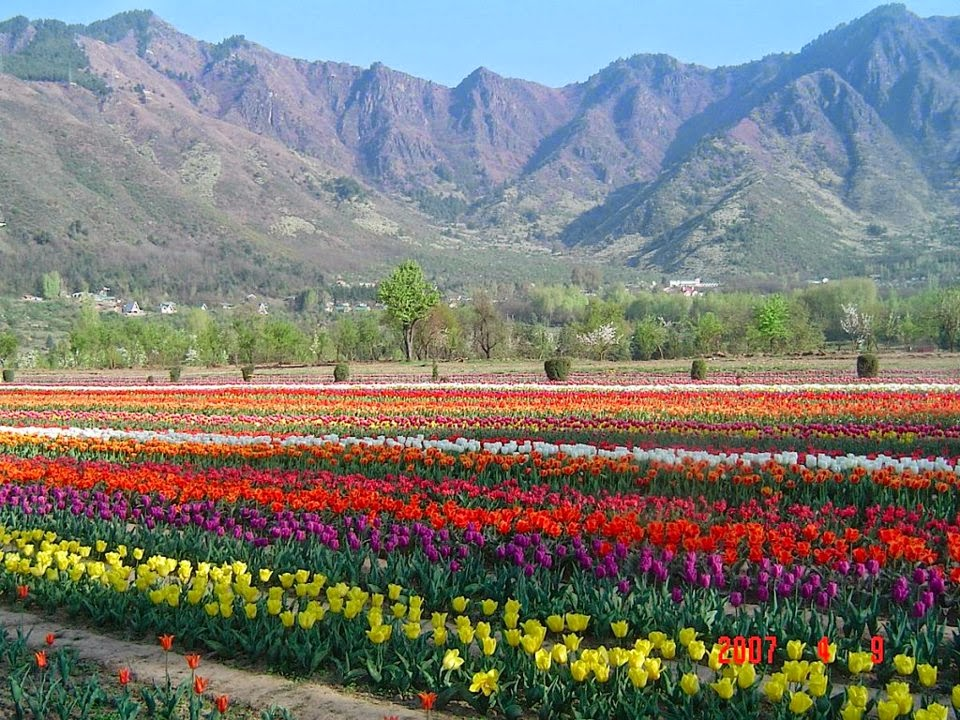Kashmir Tullip garden