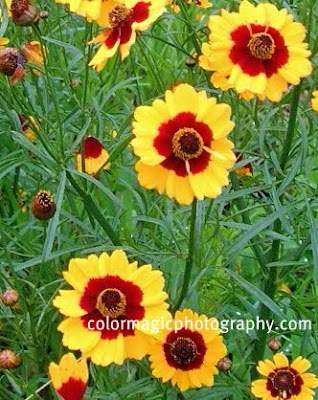 Plains coreopsis-foliage and flowers
