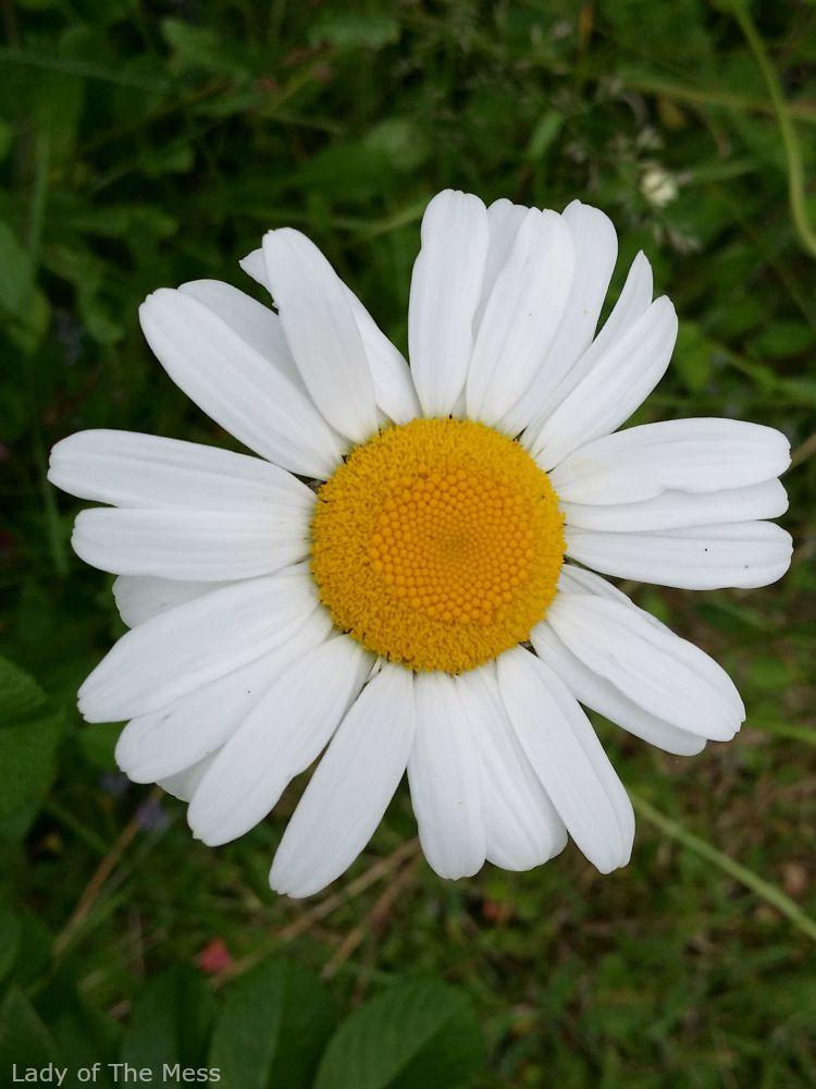 päivänkakkara, kukka