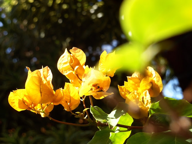 Yellow Bouganvilla