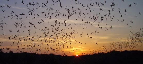 Kelelawar Meksiko terbang berkelompok