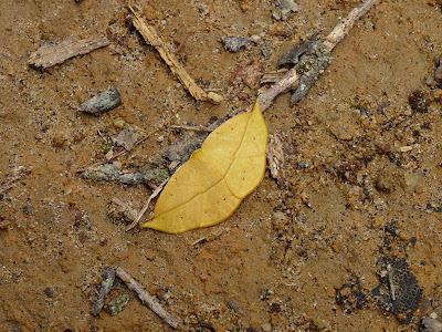 Camuflagem (Mariposa da família Geometridae)