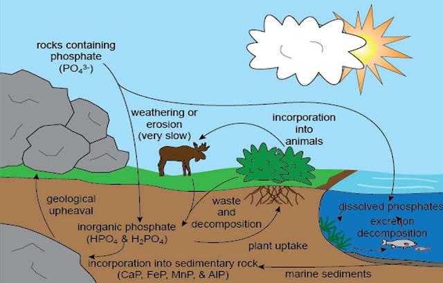 Daur Fosfor : Proses, Tahapan, dan Gambar Ilustrasinya