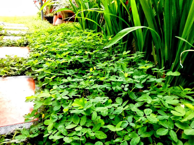 Plantas de Arachis Pintoi e Iris