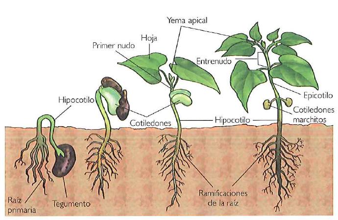 raiz tallo hojas
