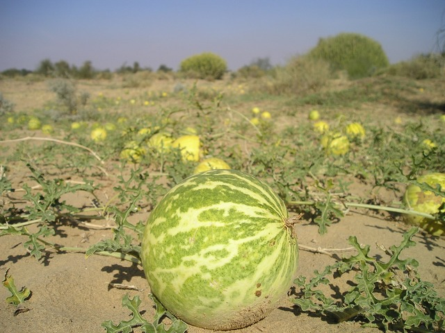 Bienfaits pour la santé de Melon amer