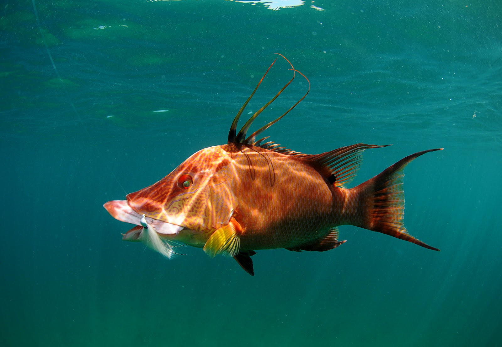 hogfish the life of animals