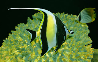 Moorish idol - a Beautiful sea fish