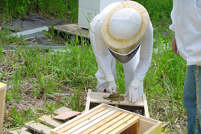 Beekeeper removing feeding can from packaged bees