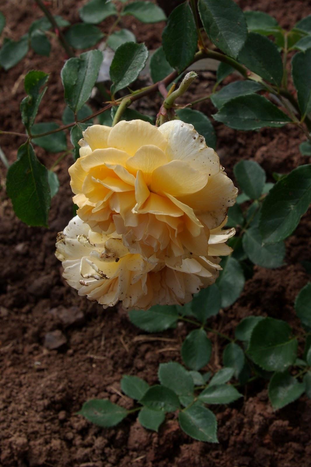 rudolfs park historischer rosen rosen und herbst 2011. Black Bedroom Furniture Sets. Home Design Ideas