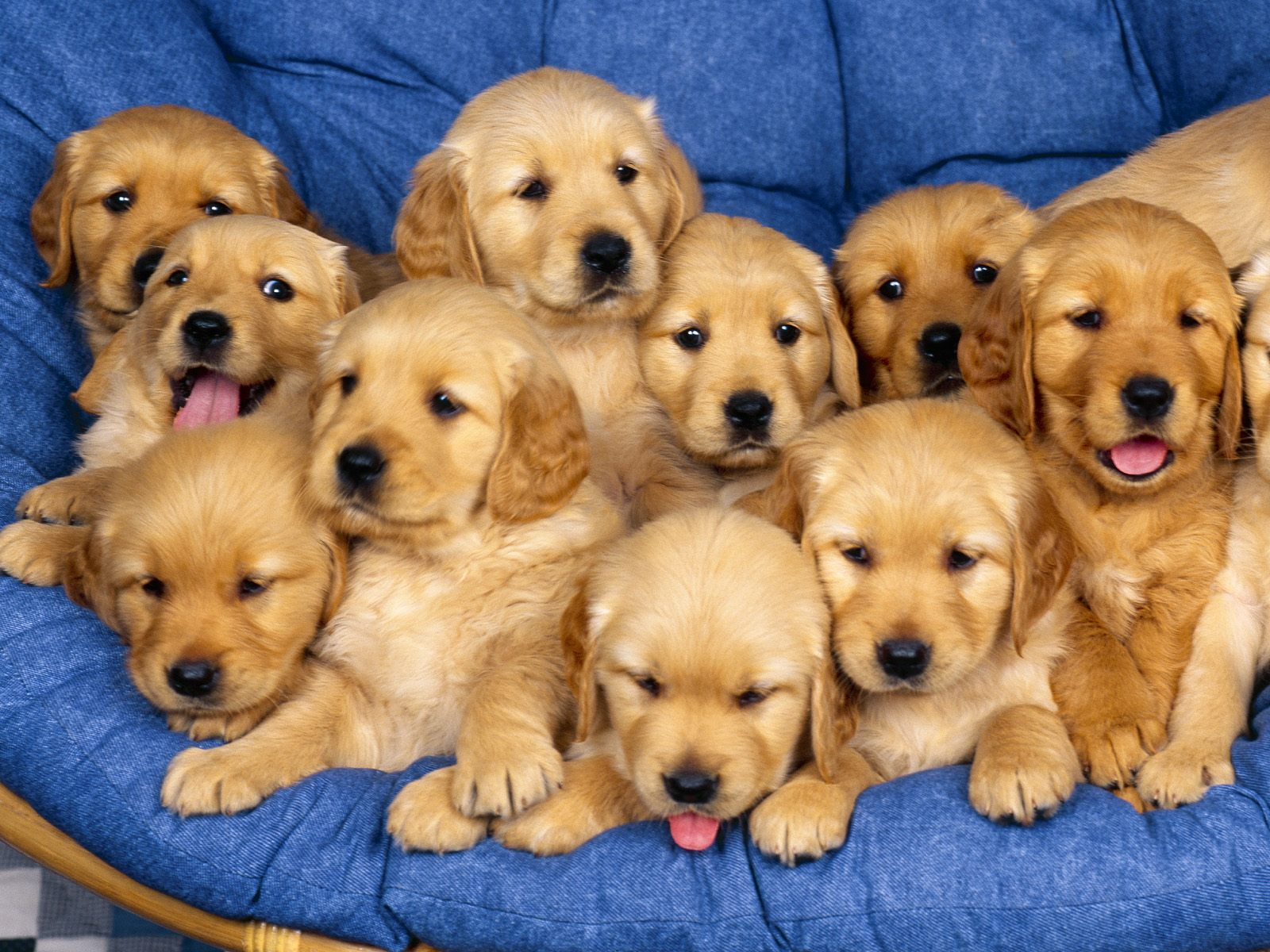 golden retriever dog beautifull wallpapers in hd songs