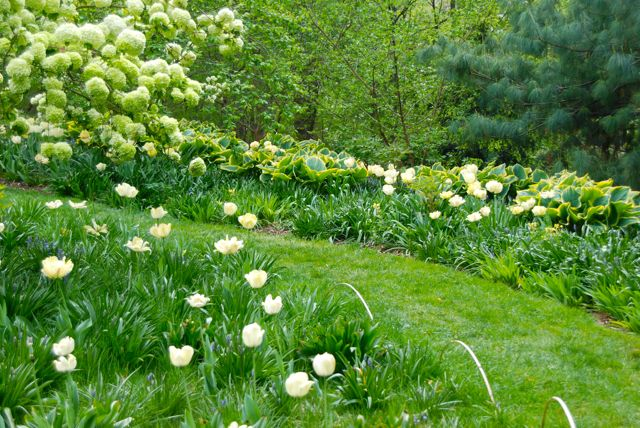 Large creamy tulips, golden-edged hostas and white viburnums all blooming in the rough grass near Asian Woods. The planting area is marked off from the manicured turf simply by adding bent bamboo or willow sticks to the edge.