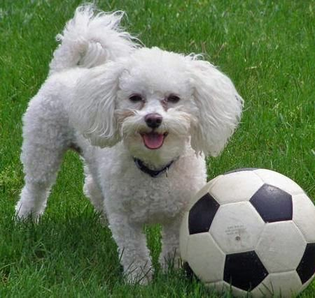 Coton De Tulear poodle playing football