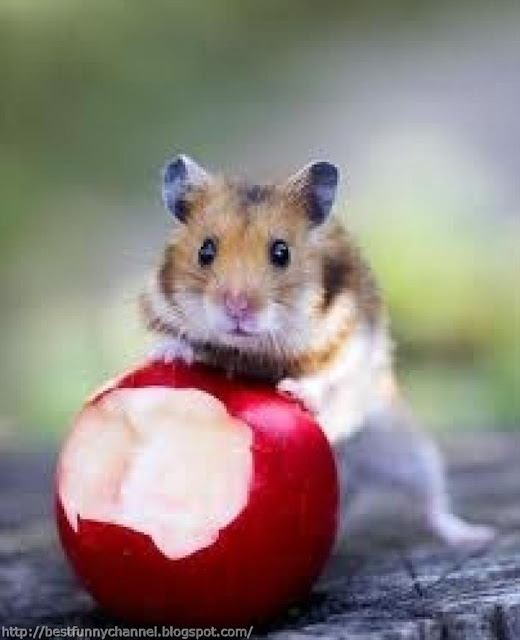 Hamster and apple.