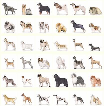 Dog Breeds: AKC Breeds Information