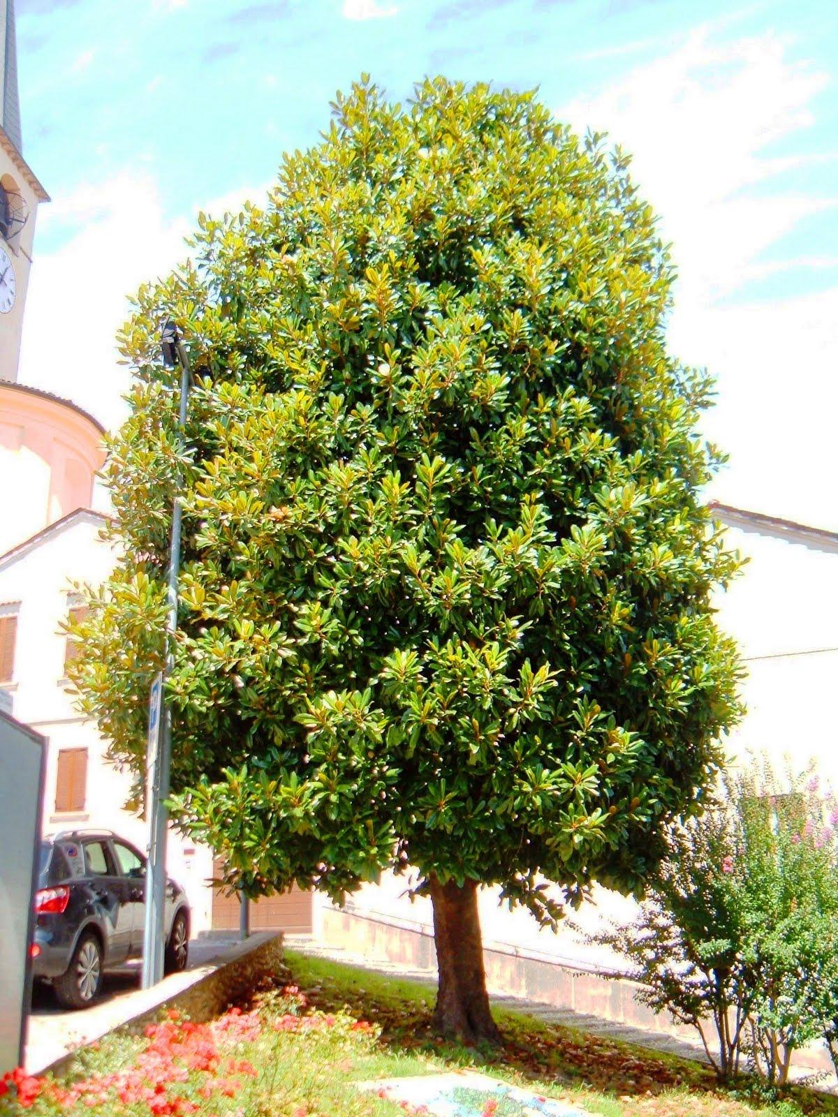 Alberi di borgo ticino: la magnolia di piazza roma