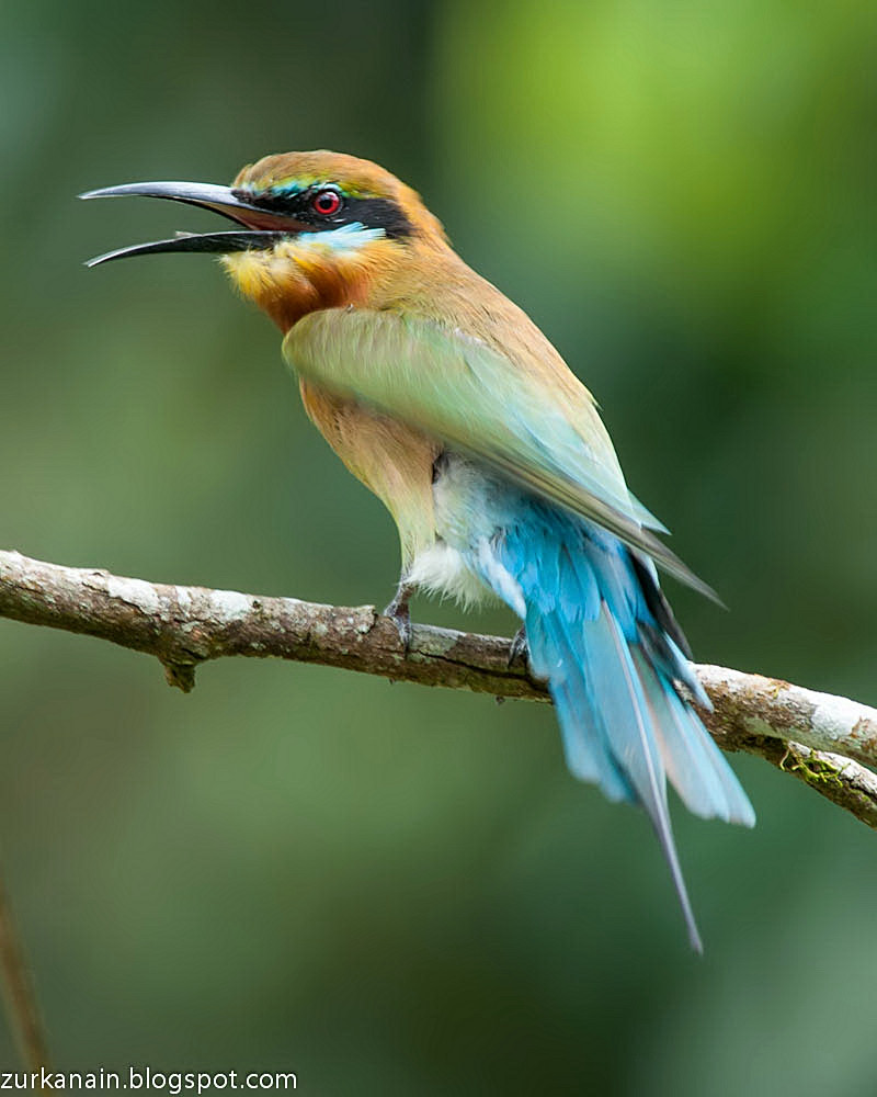 Blue Tailed Bee Eater Migration Blue Tailed Bee Eater Posted