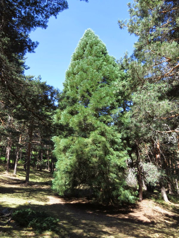Yurakuna cr nicas de un mundo cambiante secuoyas en la for Anales del jardin botanico de madrid