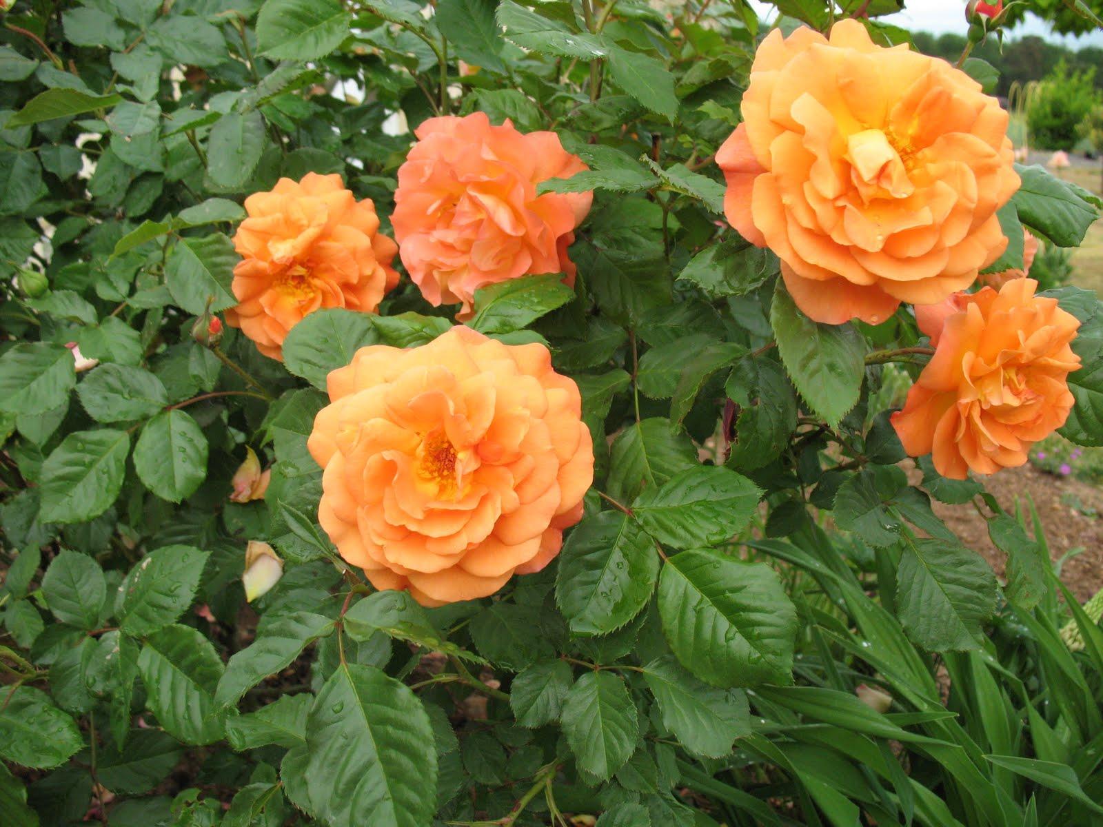 roses du jardin ch neland bouquet de roses et g ranium. Black Bedroom Furniture Sets. Home Design Ideas