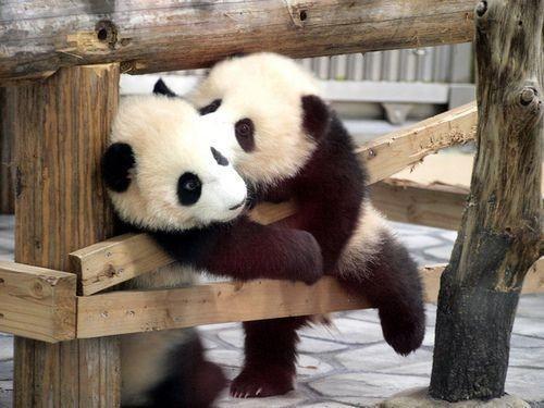 cute+as+pandas.jpg