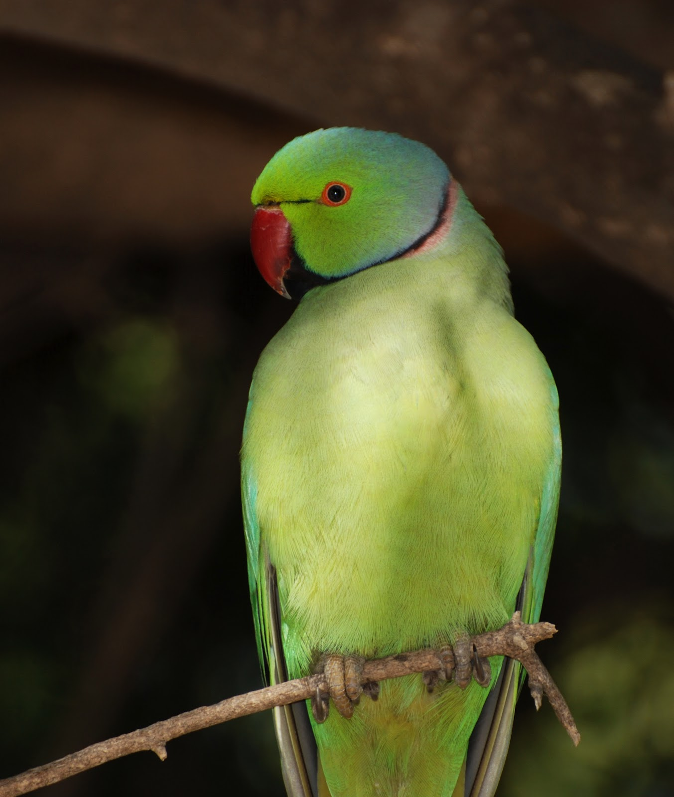 All Wallpapers: Indian Parrots Pictures
