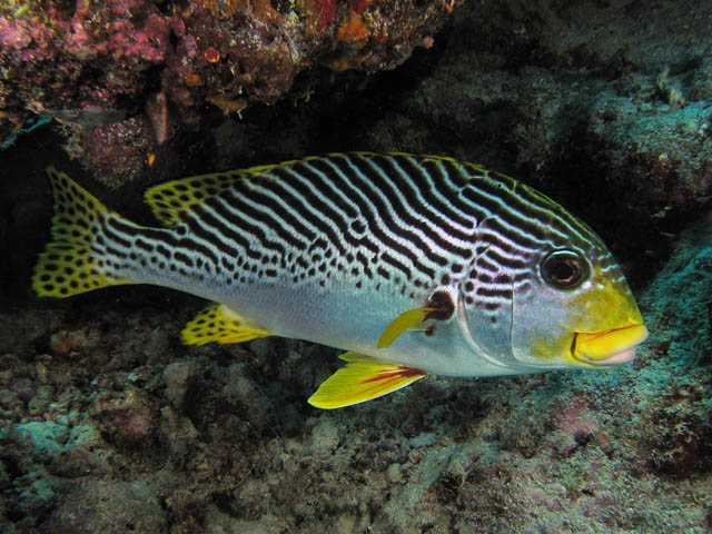 Fish wallpapers diagonal banded sweetlips fish photos for Sweet lips fish