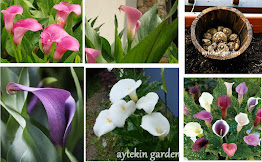 Original Bulbs Calla Lily from Turkey