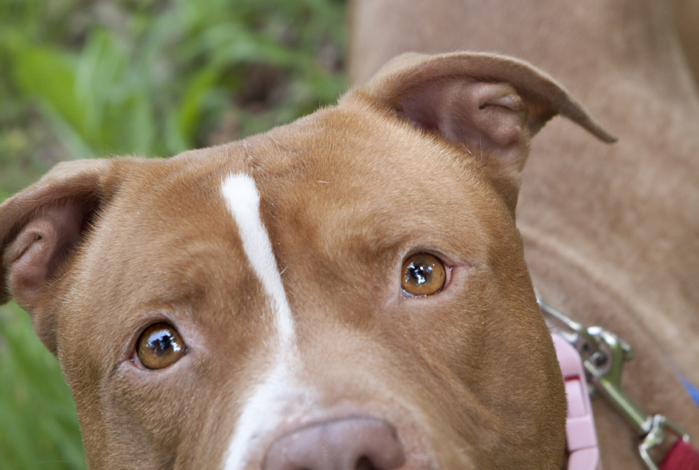Pitbulls Brown And White Puppies Shelter dogs of portland: maybelle ...