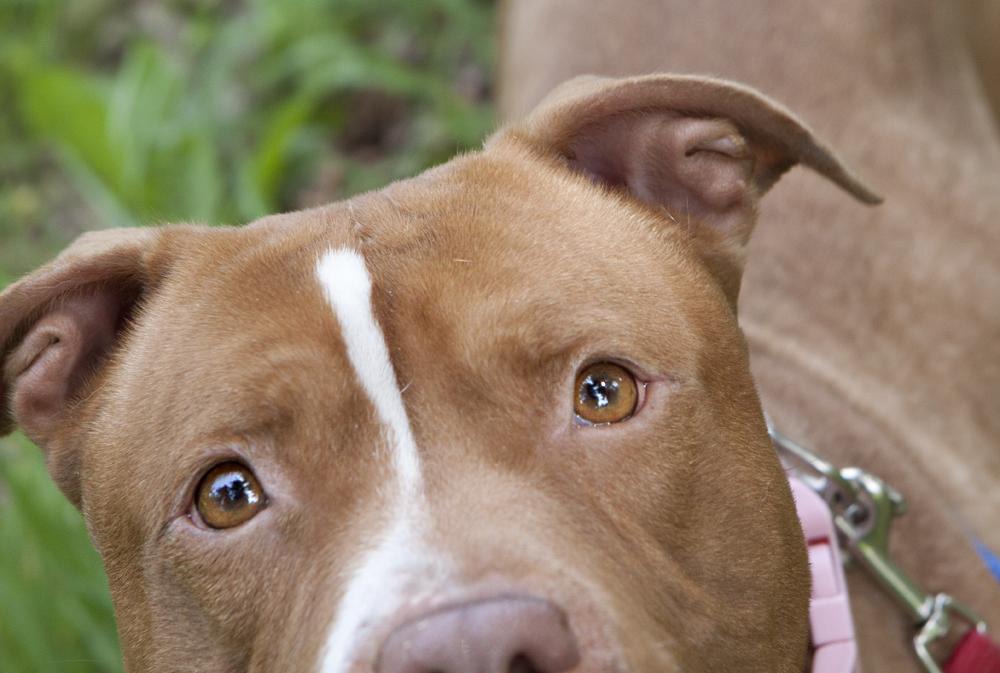 Must see Pitbull Chubby Adorable Dog - 547179a  Photograph_277966  .jpg