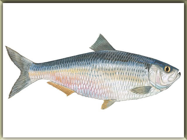 Herring Cichlid  : List Of Freshwater Fish Beginning With B Animals Name A To Z