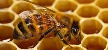 Profesyonel Arıcılık | Hakiki Bal | Karniyol Ana Arı Satışı