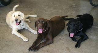 perros Labradores Retrievers color amarillo negro Chocolate