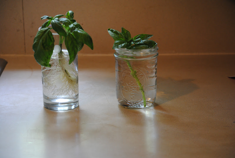how to keep basil alive in water