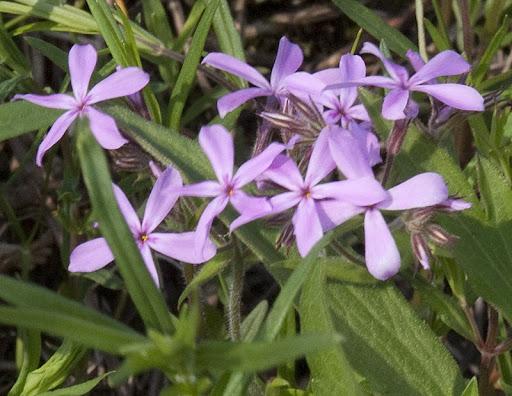 prairie phlox (Phlox pilosasrc)