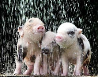 Vai trò của nước uống trong chăn nuôi.