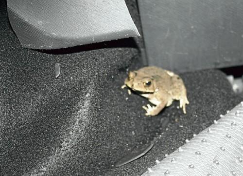 guru maut kemalangan kerana terkejut katak dalam kereta