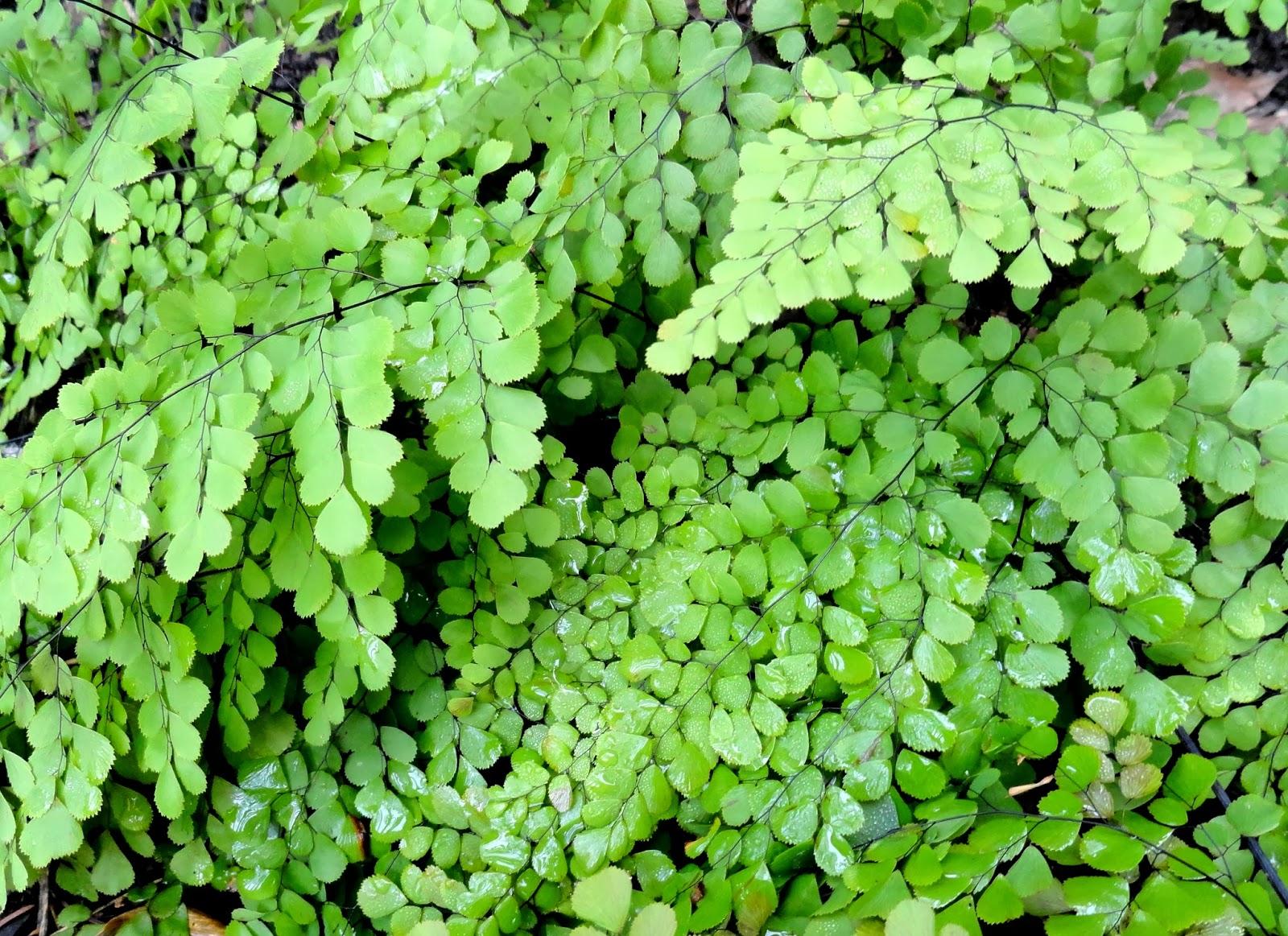 danger garden: Adiantum venustum is my favorite plant in ...