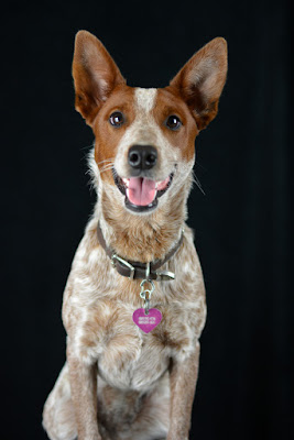 Australian Stumpy Tail Cattle Dog Puppy