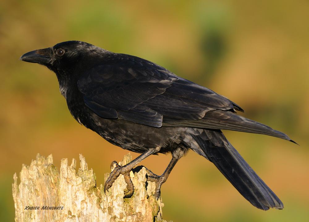 Belabeltza,Corvus corone, Corneja negra, belea