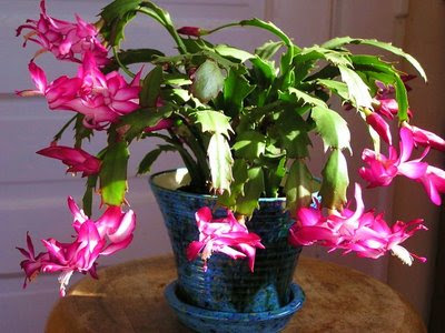 how to look after christmas cactus uk