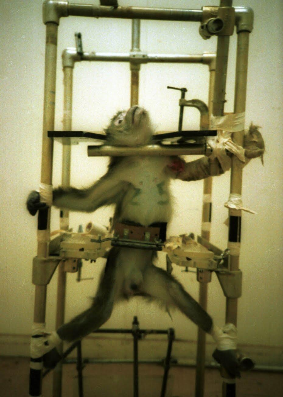 """El mono Domitian, símbolo de la lucha contra la crueldad de los seres """"humanos"""" hacia los animales."""