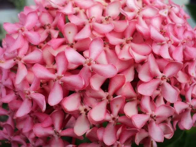 Ixora Coccinea Pink